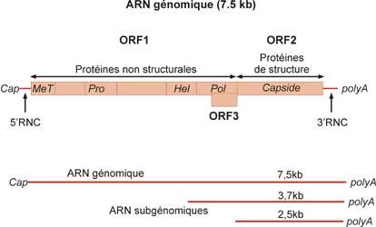Orf-1 (~5 kb) code une polyprotéine non structurale clivée en